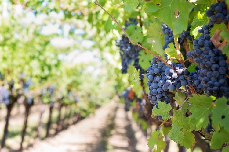 Wijngaarde De Heerlijkheid